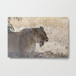Lion after Lunch Metal Print