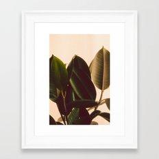 Rubber Plant White Background Framed Art Print