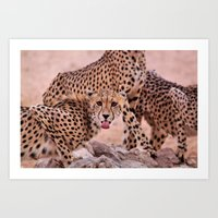 Cheetah Brothers of the Kalahari Art Print