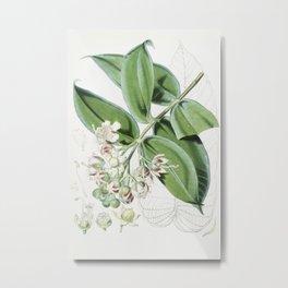 Duabanga Sonneratioides Vintage Plant Illustration Metal Print