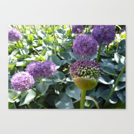 Alliums in Tivoli Canvas Print