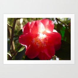 Sunlit Camellia Flower Art Print