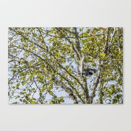 Belted Kingfisher in Flight, No. 1 Canvas Print
