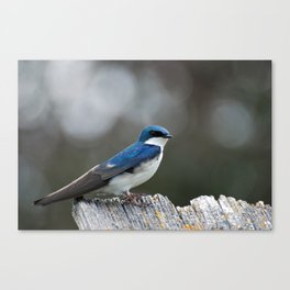 Tree Swallow Lookout Canvas Print