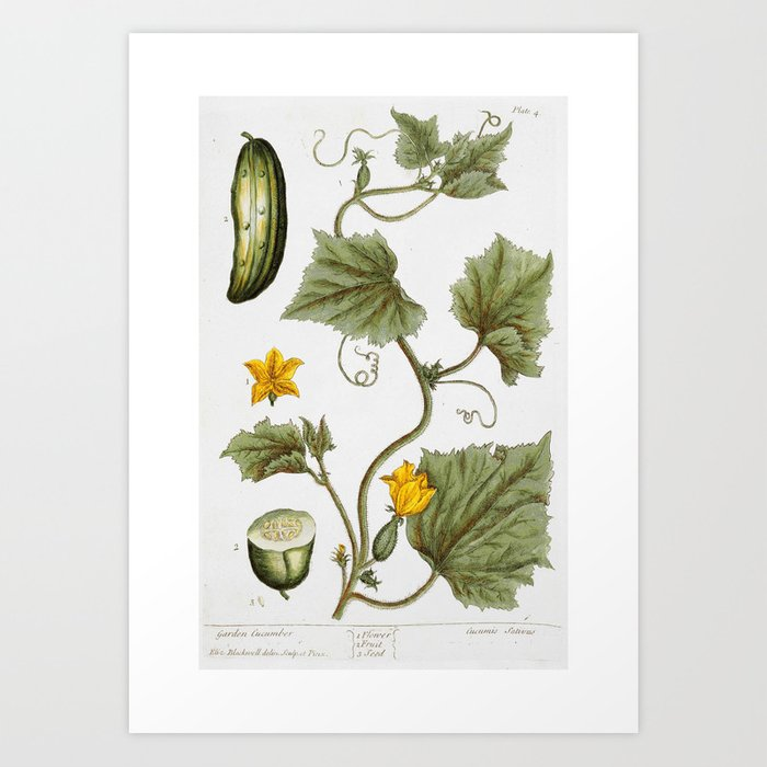 """Cucumber by Elizabeth Blackwell from """"A Curious Herbal,"""" 1737 (benefiting The Nature Conservancy) Art Print"""