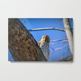 Sharp-Shinned Hawk Peaking Metal Print