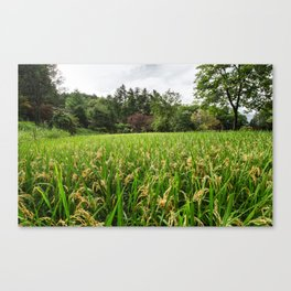 Rice field in Japan Canvas Print