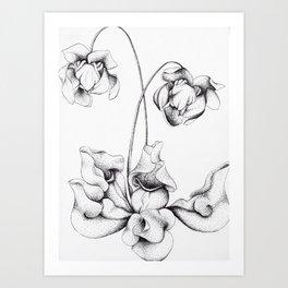 Sarracenia Purpurea Art Print