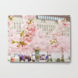 Beautiful Cherry blossom in Stockholm in May Metal Print