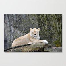 White lioness Canvas Print