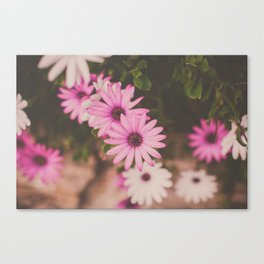 Hot Pink Daisies Canvas Print