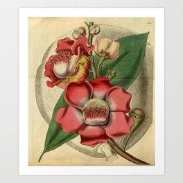 Flower 3158 couroupita guianensis Guiana Couroupita or Cannon Ball Tree1 Art Print