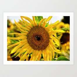 Sunflower III Art Print
