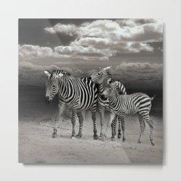 Wild Zebra Socialising in Africa                                      Metal Print