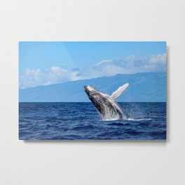 Humpback Breach 3 Metal Print