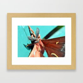Ceanothus silkmoth hanging out 3 Framed Art Print