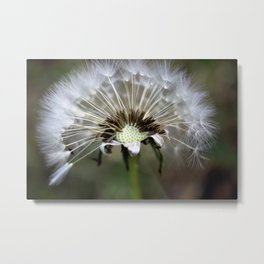 Dandelion Weed Seed Metal Print