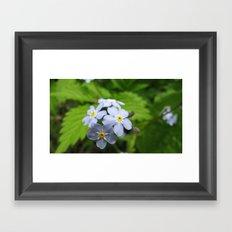 USA - MINNESOTA - Forget-me-nots  Framed Art Print