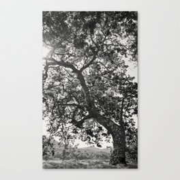 Tree Reaching For Light Canvas Print
