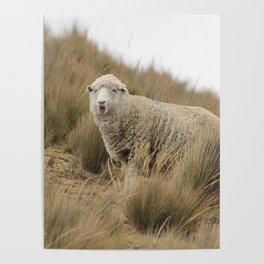 sheep in Peru Poster