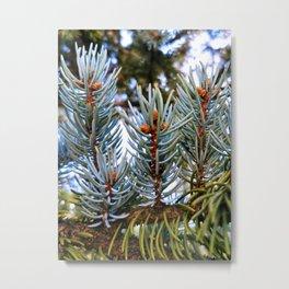 Blue Spruce Spring Growth 2 Metal Print