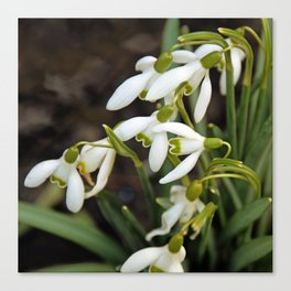 First signs of spring (snowdrops) Canvas Print