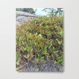 Wild Maine Blueberries on Pleasant Mountain (2) Metal Print