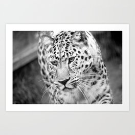 Amur leopard Rusher Art Print