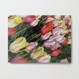 Field of Rainbow Tulips in Albany, NY Metal Print