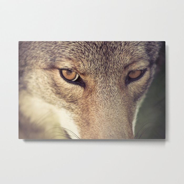 In the eyes of the Coyote Metal Print