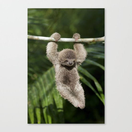 Hanging Around Baby Three Toed Sloth Canvas Print By