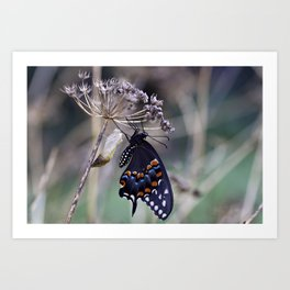 Butterfly emerging from cocoon Art Print
