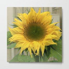 Alaskan Big, Bright Summer Sunflower Metal Print
