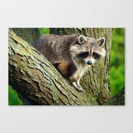 Raccoon - Treed Canvas Print