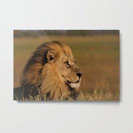 Beautiful Lion in Desert Metal Print