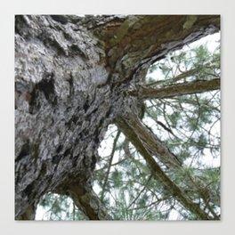 Up a Pine Tree Canvas Print