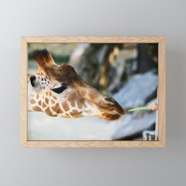 Giraffe feeding Framed Mini Art Print