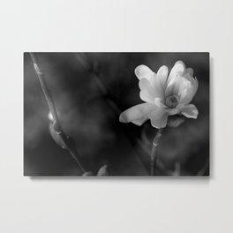 Magnolia Stellata  Metal Print