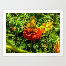 Sulfur Butterfly In The Flower Garden Art Print