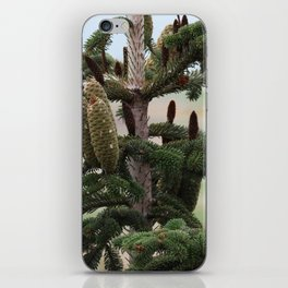 Closeup of large cones at the top of a pine tree iPhone Skin