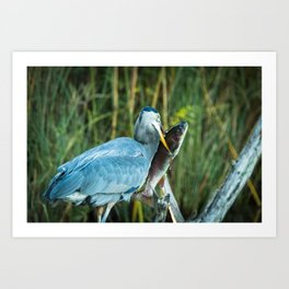 A great blue heron spears a large trout Art Print