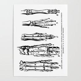 Lower Limbs of Ungulate Animals Poster
