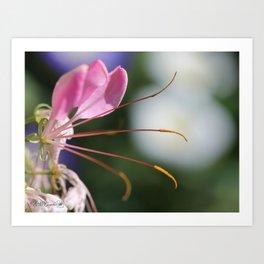 Cleome named Sparkler Pink Art Print