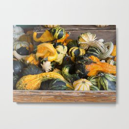 Freshly picked assortment of gourds and squash, Autumn Decorations Metal Print