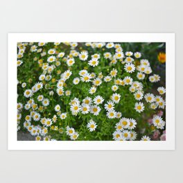 Blossoming of a medical camomile. (Matricaria chamomilla) - Chamomile garden / white flowers of German chamomile daisy. Art Print