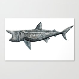 Basking shark (Cetorhinus maximus) Canvas Print