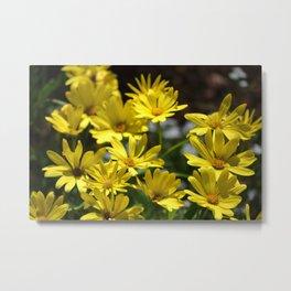 Delightful Little Yellow Daisies Metal Print