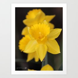 Trumpet Daffodil named Exception Art Print