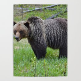 Grizzly encounter in Jasper National Park Poster