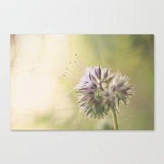 Phacelia Canvas Print